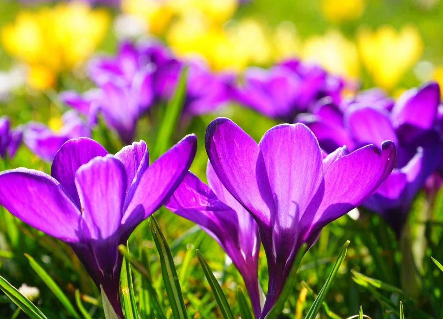 purple spring flower bloom